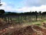 Chácara produtiva para renda - 22.661 m² (quase 1 alqueire) Pirapó (Apucarana) PR