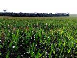 Sítio 40 alqueires paulista (Plantando em 37) Cambira - PR